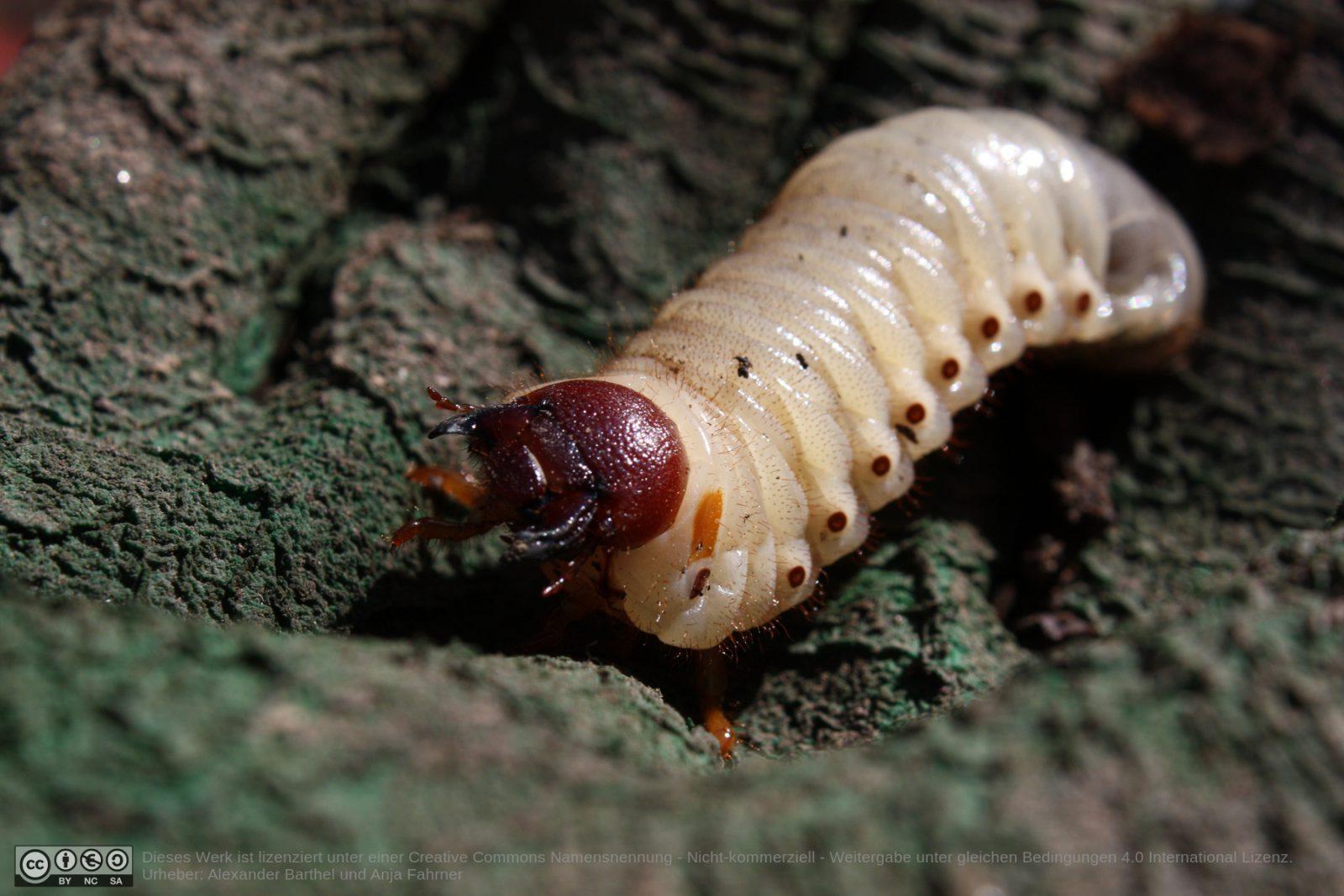 Nashornkäferlarve