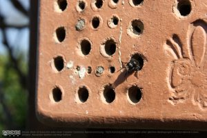 Frisch geschlüpfte Mauerbiene