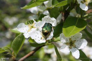 Rosenkäfer auf Birnenblüte
