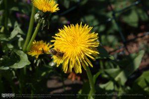 Bienen auf Löwenzahn
